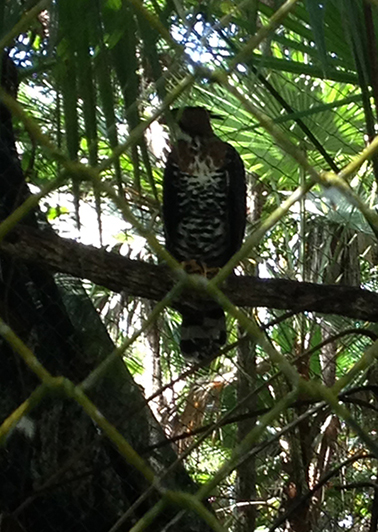 Ornate Hawk Eagle of Central America